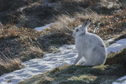 PDI -  Commended - Mountain Hare by BRIAN LARKIN