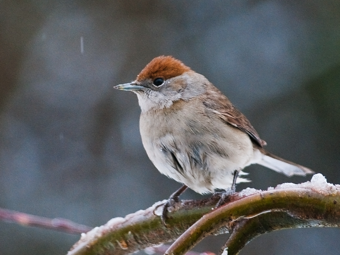 153 Winter_blackcap_a.jpg.jpg