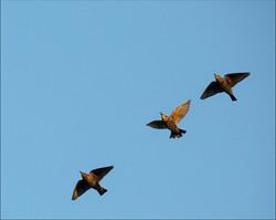 Starlings Gather Tomurmur