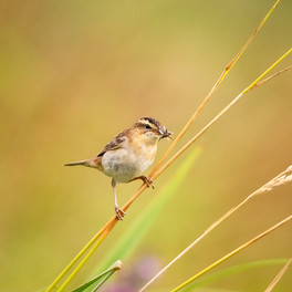 PRINT -  Commended - Sedge Warbler by Lionel Mitchell