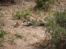 PDI - Leopard ambushes Klipspringer by Chris Millar