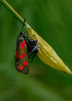 28 - IPF - Burnet moth emerged from cocoon by John Bainbridge ( 34 marks )