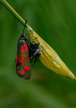 28 - IPF - Burnet moth emerged from cocoon by John Bainbridge ( 34 marks )