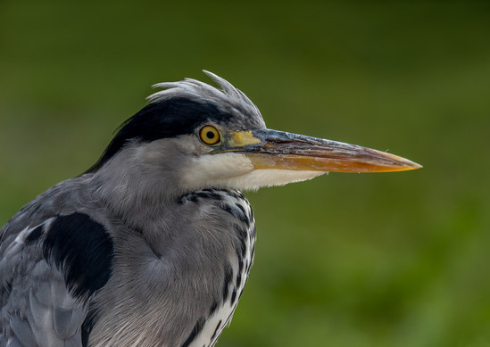PRINT - Grey Heron by Robert Sergeant