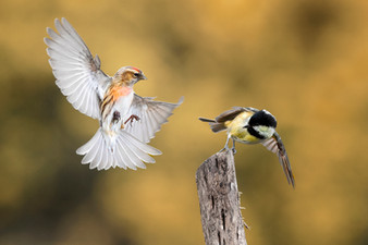 PDI -  2nd Place - Redpoll and Coaltit by Hugh Wilkinson