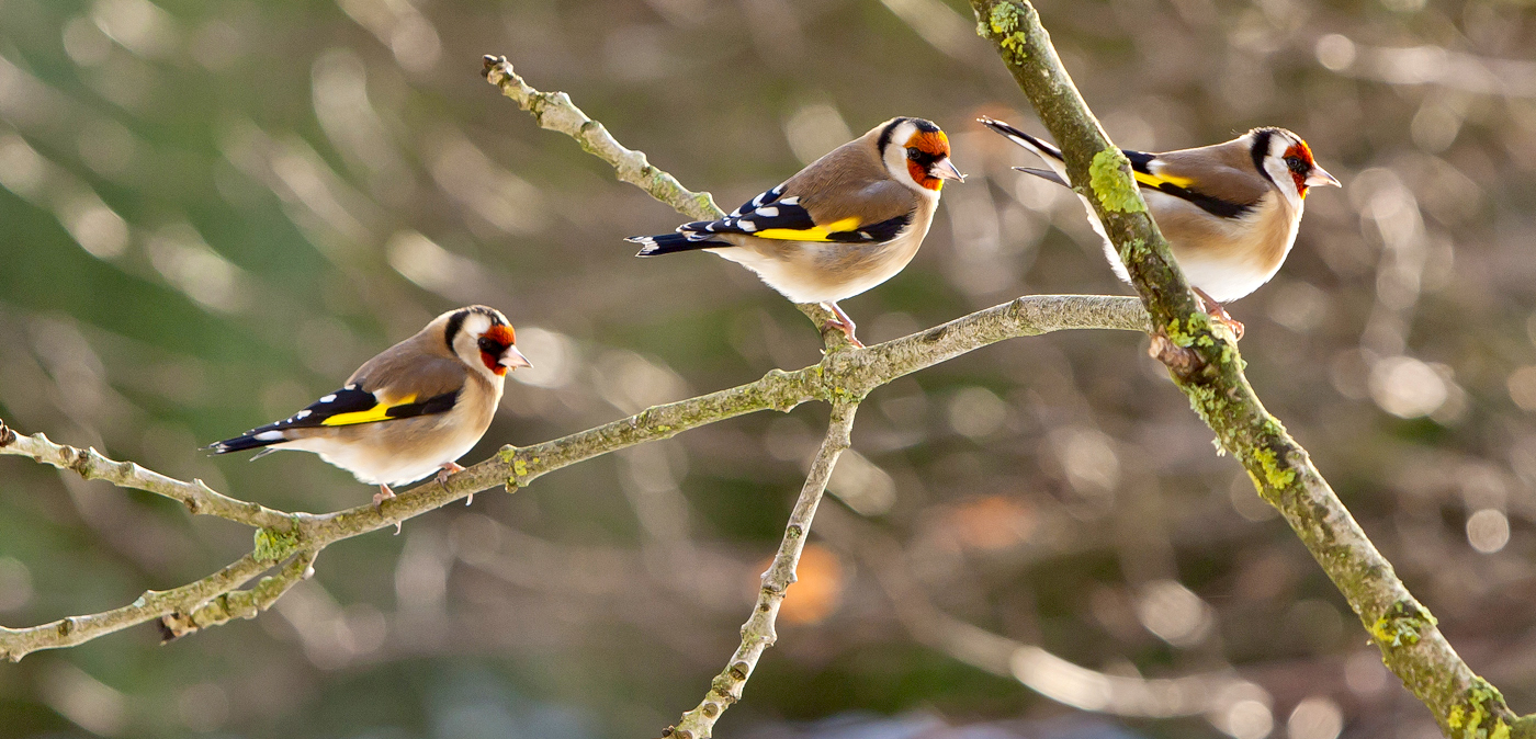 029  GOLDFINCHES..jpg