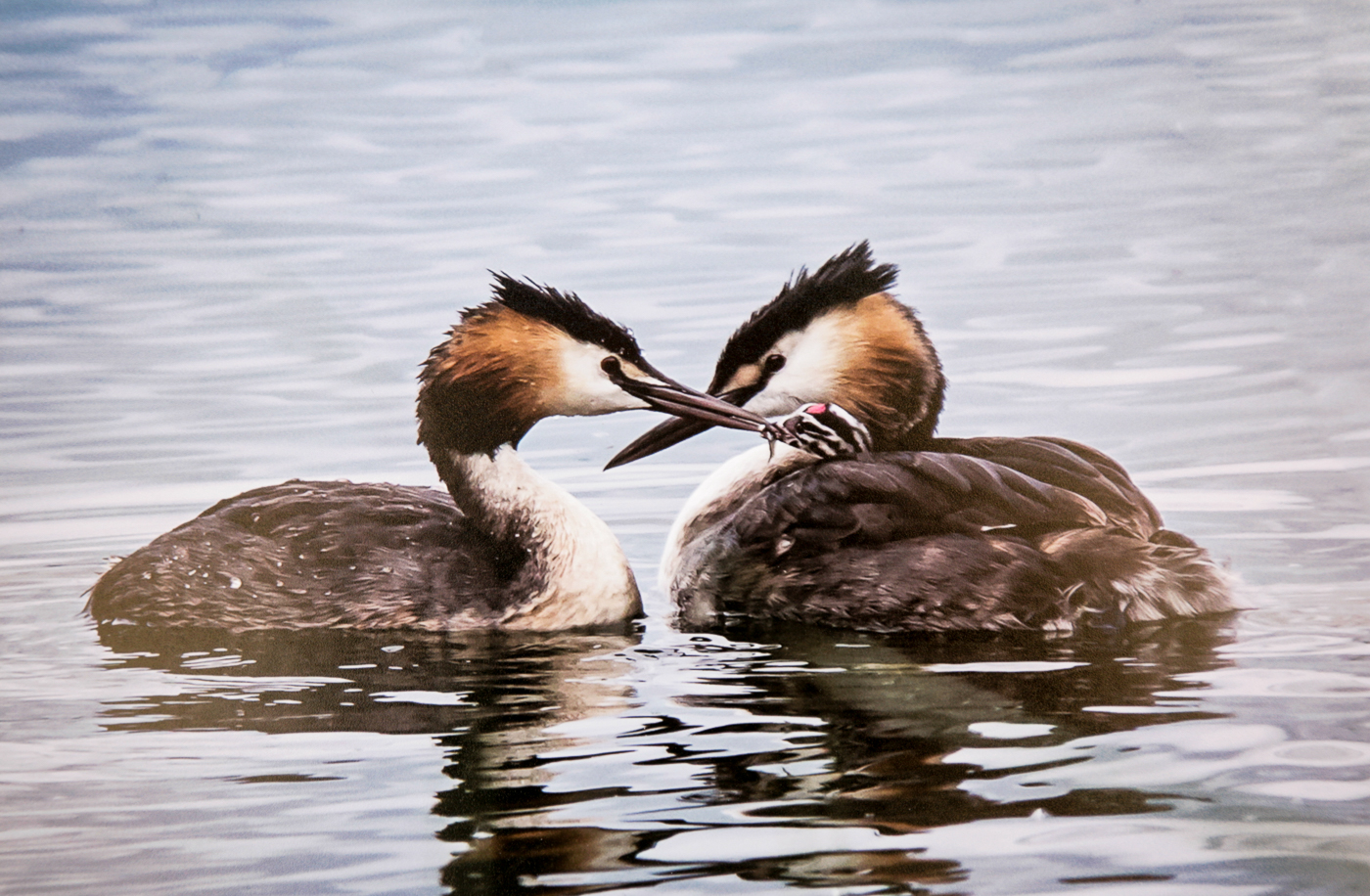 Two great crested grebes with chick-Brendan Hinds-1st.jpg