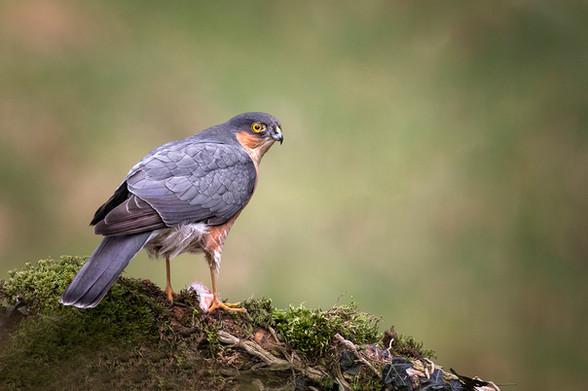 S-3-Sparrowhawk_Hugh Wilkinson_Catchlight.jpg