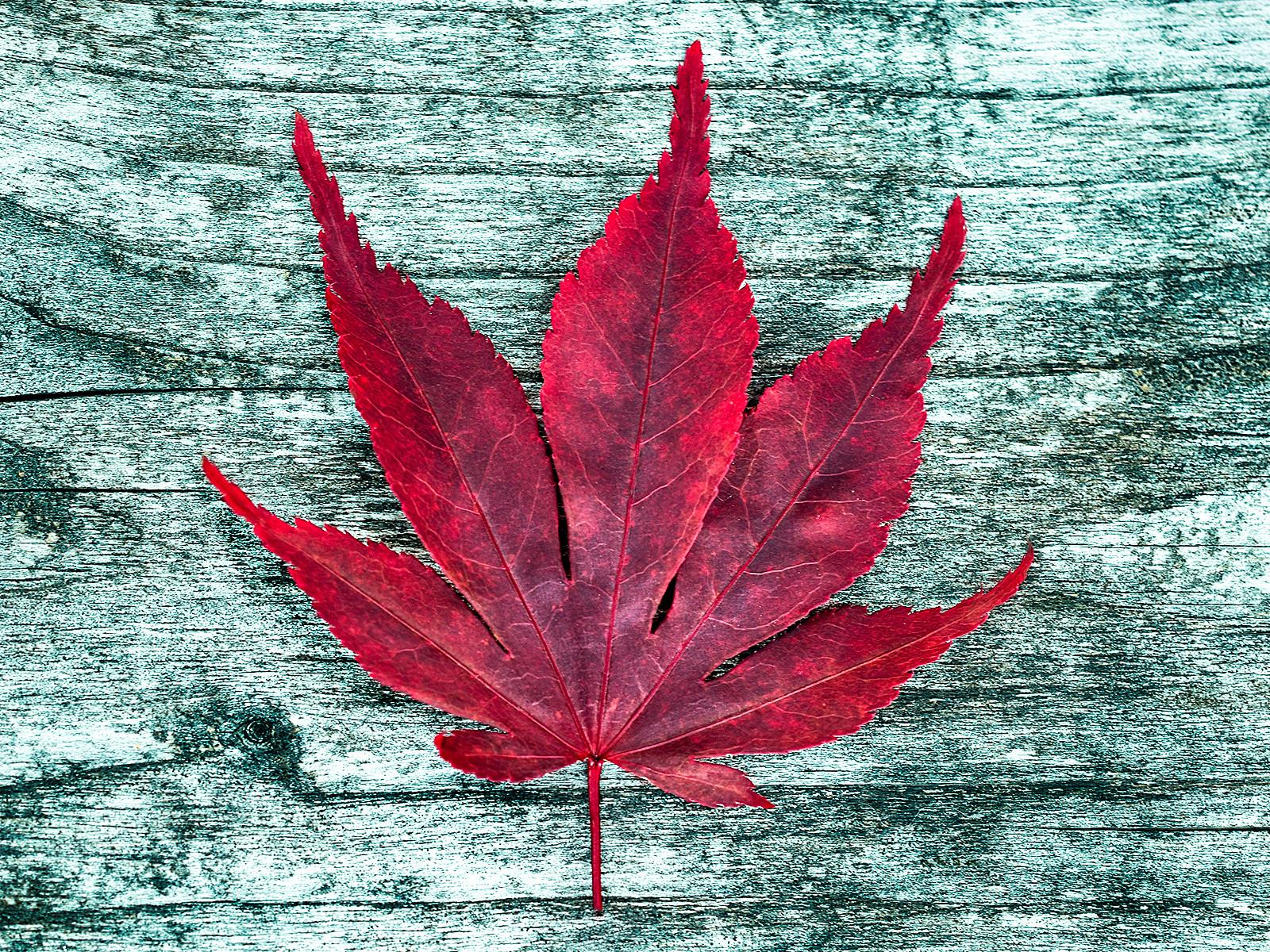 PDI - Maple Leaf by Sharon Gilroy (9 marks)