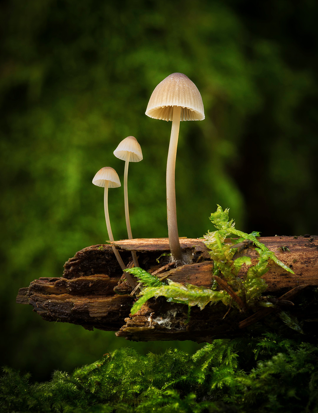 COLOUR - Mycena trio by Louise Borbely (14 marks)
