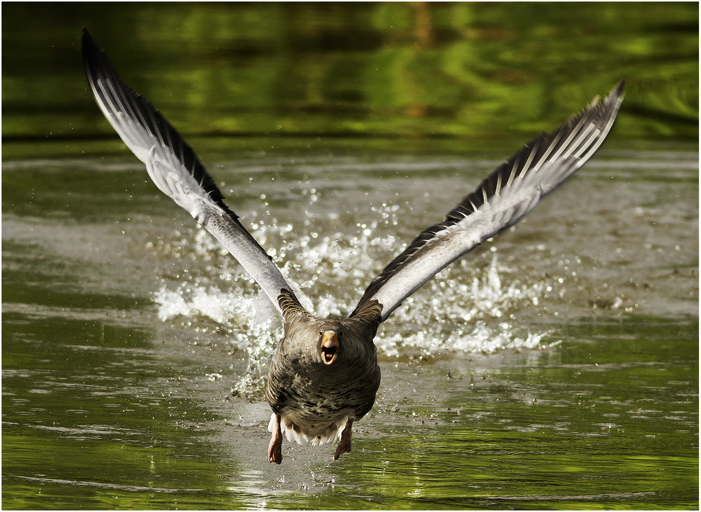 008 Graylag Goose Taking Off.jpg