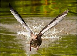 008 Graylag Goose Taking Off.jpg