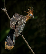 PRINT -  Highly Commended - Hoatzin by Brendan Hinds