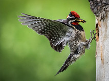"""Red Naped Sapsucker at Nest"" by Ian Lyons"