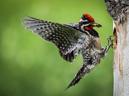 """""""Red Naped Sapsucker at Nest"""" by Ian Lyons"""
