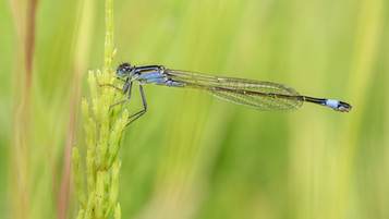 PDI - Blue-tail on Mares Tail by Ted McKee (12 marks)