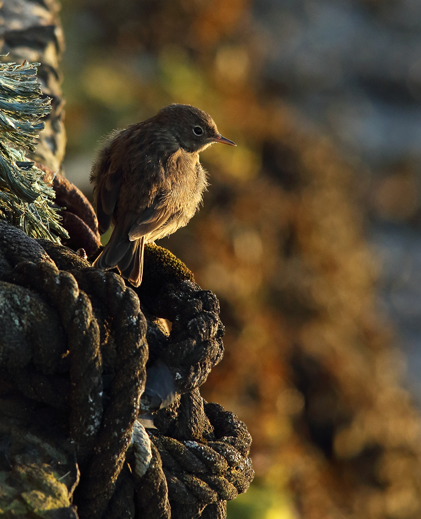 Young Rock Pippet