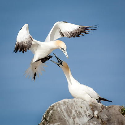 99 - NIPA - Gannet Homecoming by Vittorio Silvestri ( 38 marks ) - Joint 3rd Place
