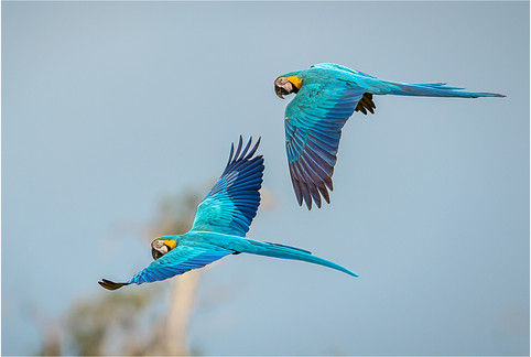 PRINT - Blue and Yellow Macaws by Brendan Hinds