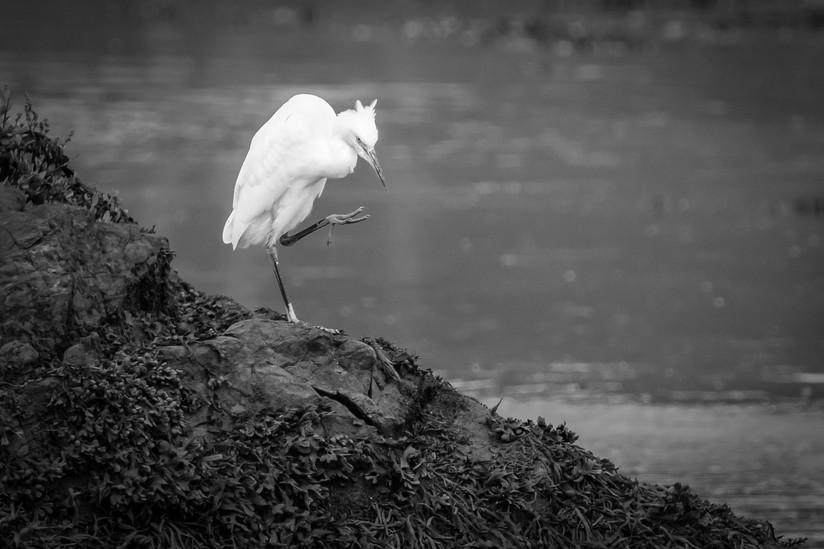 MONO - Little Egret by Harry Graham (9 marks)