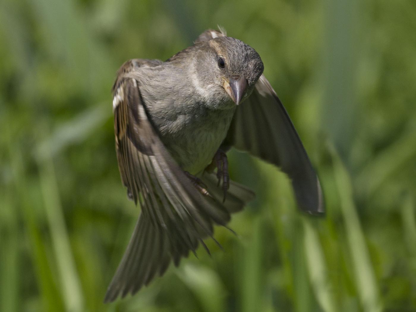 114 Sparrow2.jpg