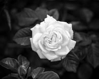 MONO - Rose by Thomas Crudden (6 marks)