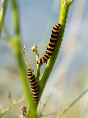 41 - IPF - Cinnabar Moth caterpillars by Breda McGuigan ( 29 marks )