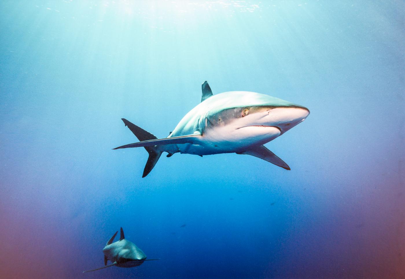 Oceanic Blacktip shark Alan Cranston-Highly Commended-.jpg