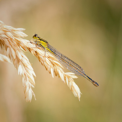 PDI - Damsel on Dried Grass by Ted McKee