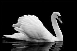 134 Swan.jpg