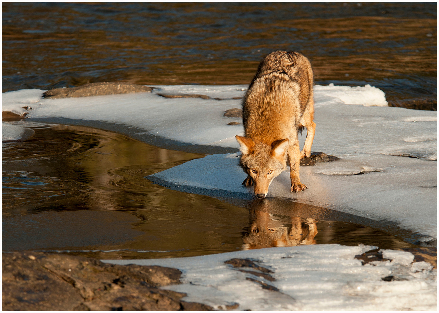 COLOUR - Coyote Drinking by Linda Cowen (17 marks)