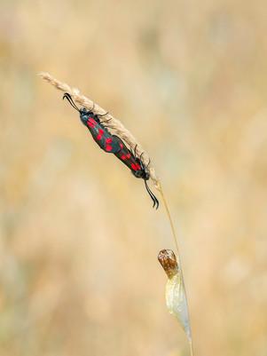PDI - Mating Burnett Moths by Valerie McKee