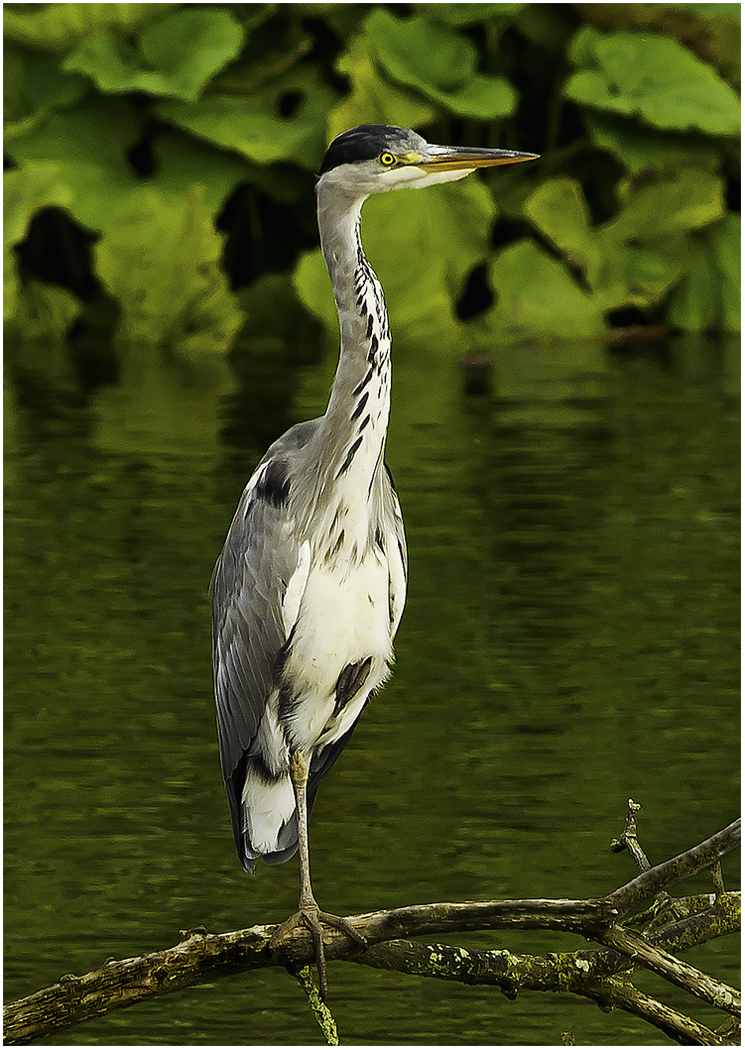 009 Gray Heron Perched.jpg