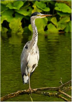 009 Gray Heron Perched.jpg
