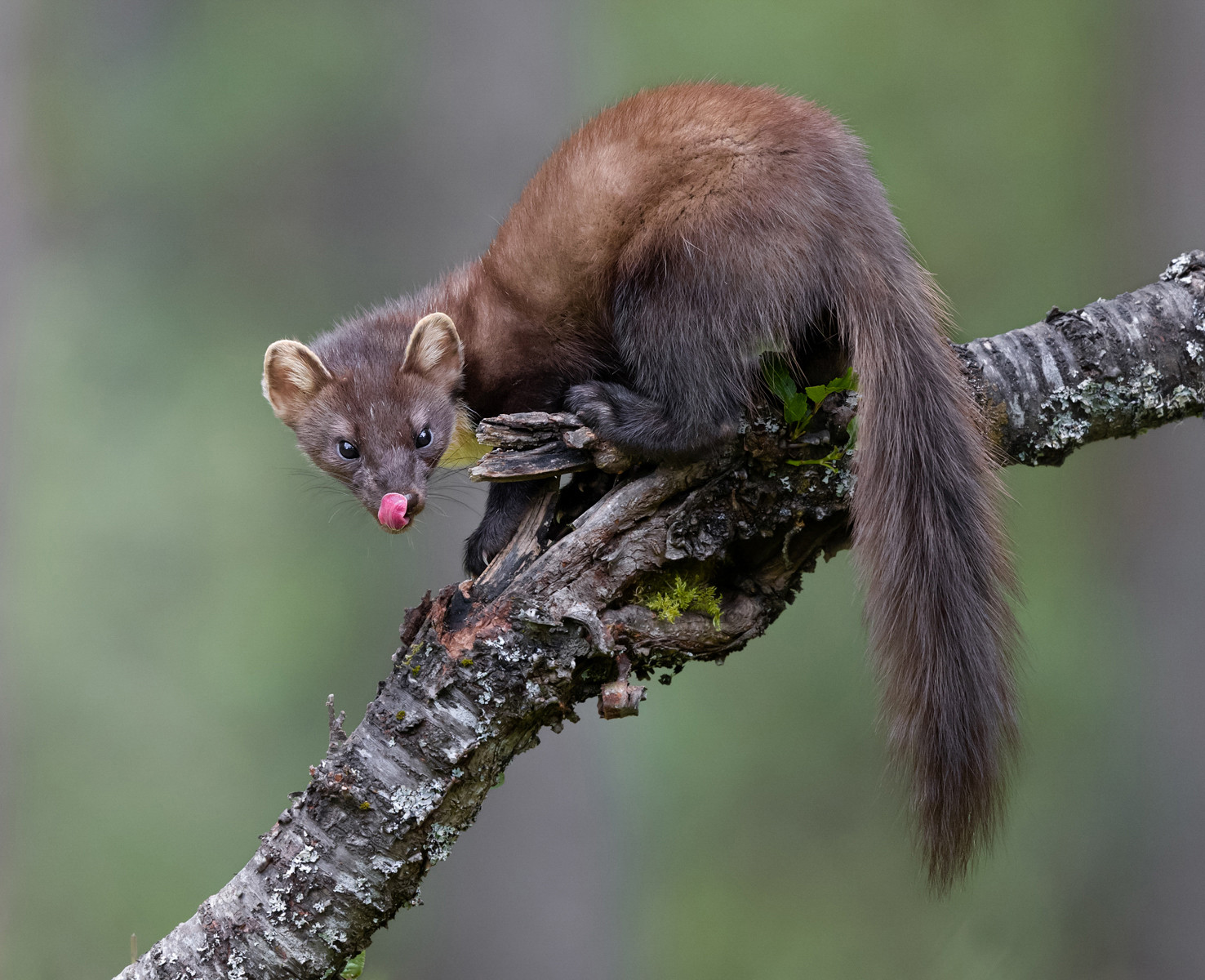 COLOUR - Female Pine Marten by Ian Mitchell (18 marks)