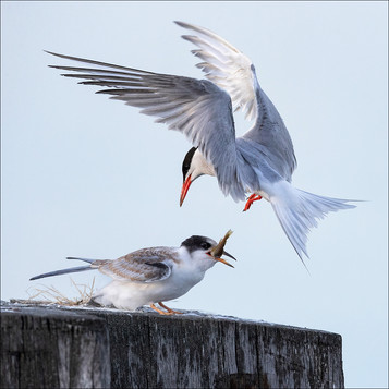 PDI - Tern Feeding Its Chick  by Hugh Wilkinson  (12 marks)