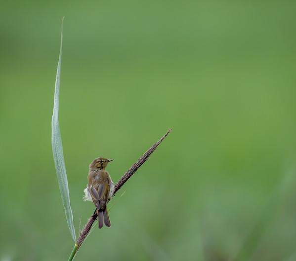 PDI - Willow Warbler (just fledged) by BRIAN LARKIN