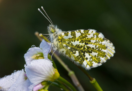"""Orange-Tip on Cuckoo Flower"" by Ted McKee"