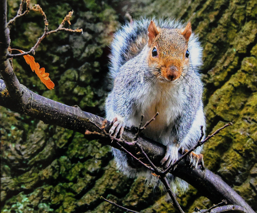COLOUR - Squirrel by David McClements (8 marks)