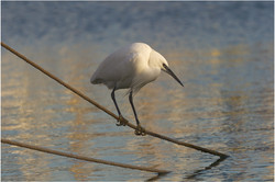131 Egret.jpg