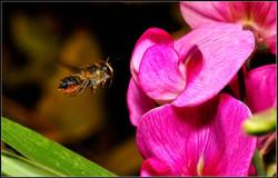 NIPA_15_TP_PDI_008-022_ILMG_Round_2_open_Jack_Houston_Bee_in_flight.jpg