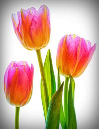 """""""Tulips"""" by John Tinneny"""