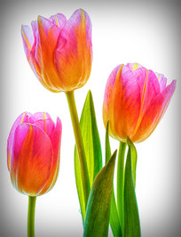 """Tulips"" by John Tinneny"