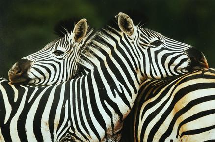 Com_Zebra-Patricia Mackey-Ards CC.jpg