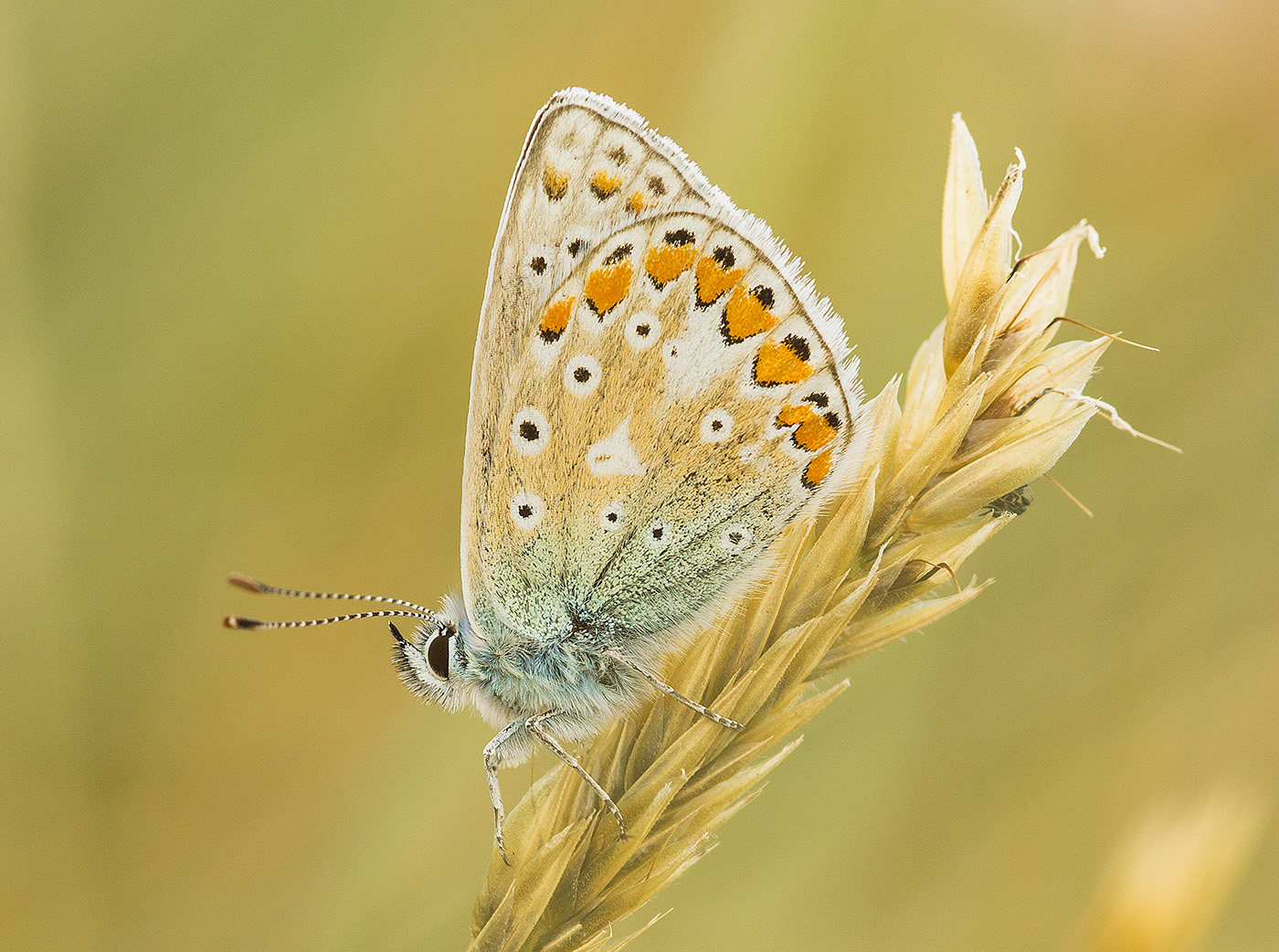7_Comended_Common_blue_louise_borbely_cpa.jpg