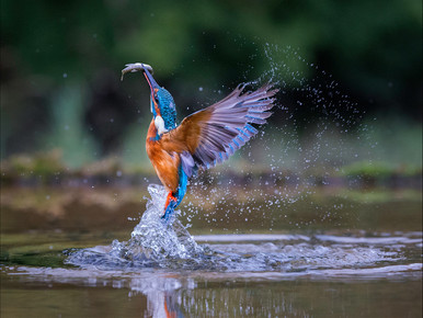 """""""Kingfisher Dive"""" by Ross McKelvey (20 marks)"""