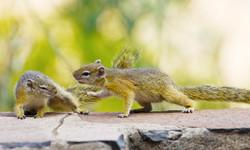 Squirrel Quarrel