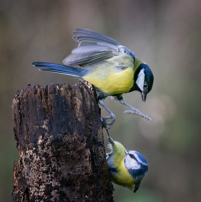 22 - NIPA - Blue Tit Under Attack by Valerie McKee ( 28 marks )