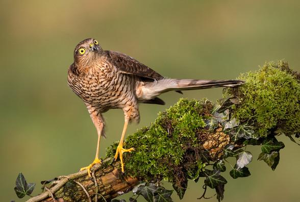P-NIPA-EX17-PDI-090-Juvenile Sparrowhawk_Hugh Wilkinson_Catchlight.jpg