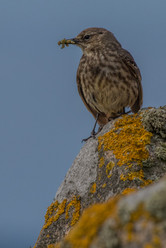 PRINT - Rock Pipit with Grubs by Frances Price